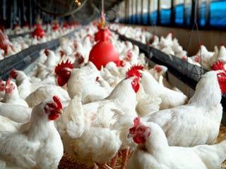 شناسنامه دارشدن تمام مرغ ها تا پایان آبان ماه سالجاری