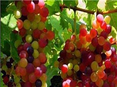 ارسال 80 درصد انگور سردشت به کارخانههای آبمیوهسازی