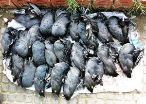 بازار فروش پرندگان وحشی مرده در خوزستان