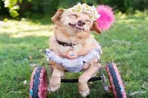 خوشبخت ترین سگ زیبا و معلول دنیا (عکس)