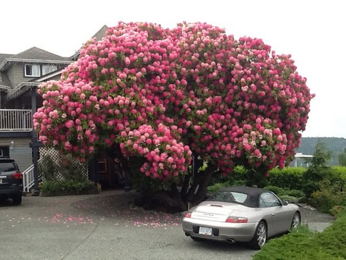 125 rhododrendon - Rododendro arbol ...