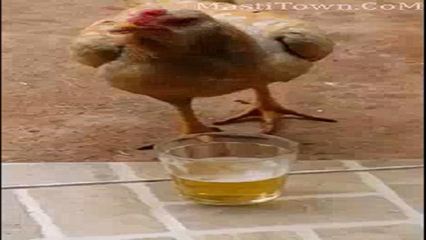 دانلود کلیپ شراب خوردن مرغ