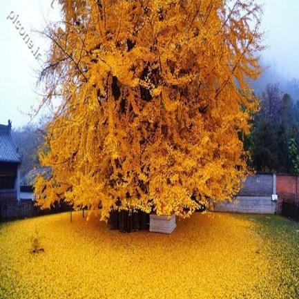 درختی ۱۴۰۰ ساله به قدمت اسلام! + عکس