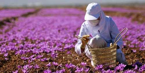 کاشت و داشت زعفران گلپایگان