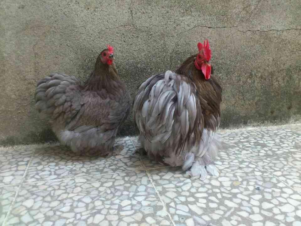 مرغ و خروس کوشین بانتام