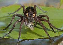 عنکبوتهای امریکایی به شکار انسانها میروند + تصاویر