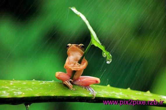 تصاویر نفرت قورباغه از باران