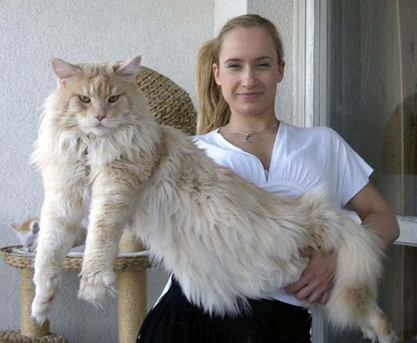 تصاويري از بزرگترين گربه ها