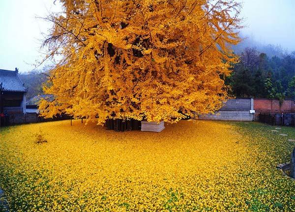 رگ ريزان رويايي درخت ژينکو در معبدي بودايي