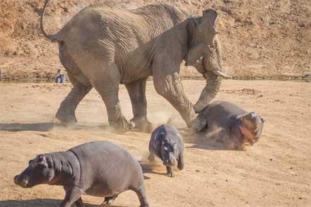دعوای فیل با اسب آبی
