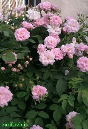 فروش نهال ریشه دار گل رز از گونه تالونه