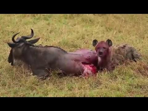 کلیپ  زنده زنده خوردن شکار - هیجانی ترین کلیپ دنیا