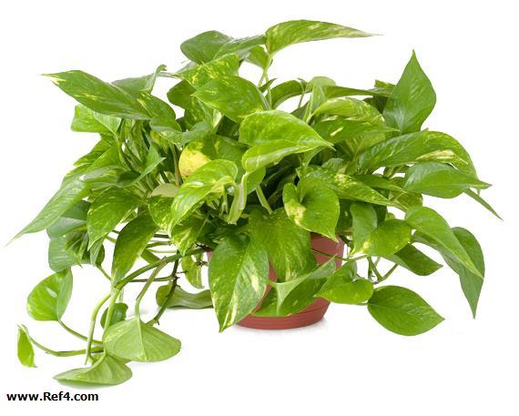تصویر گیاه پوتوس-EPIPREMNUM AUREUM