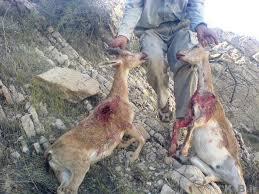 نابودی محیط زیست گلامره به دست شکارچیان غیر مجاز!!!!!!!!