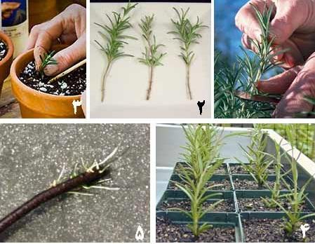 جزوه روش های ازدیاد و کاشت گیاهان دارویی