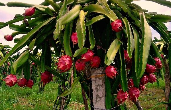 میوه اژدها