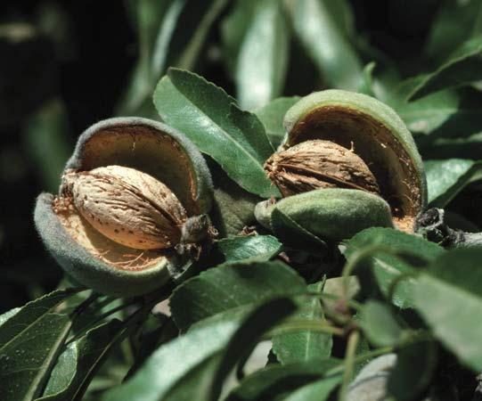 کاشت و نگهداری درخت بادام