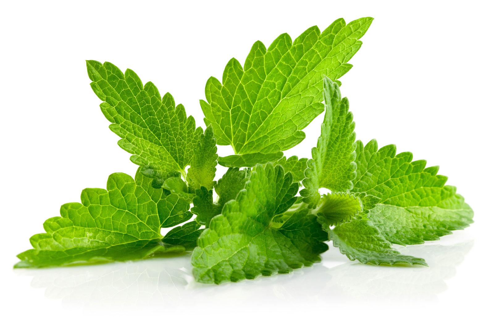 گیاهان دارویی/Peppermint نعناع