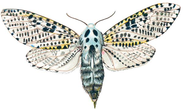 پروانه فری یا کرم خراط
