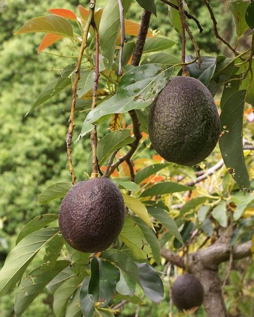 آووکادو و یا گلابی تمساح نام درخت و میوهٔ آن درخت است. این درخت در مناطق گرم و استوایی میروید و میوهای سبز رنگ با هستهای درشت دارد.