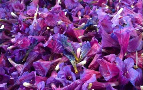گل گاو زبان و برگ هاي تصفيه كننده خون است