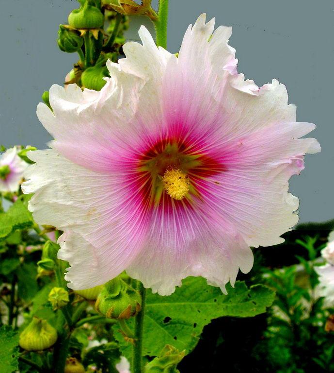 َطمی یا خَتمی (نام علمی: Alcea) سردهای از گیاهان است از تیره پنیرکیان یکساله و خودرو، گل و میوه و ریشه آن مصرف دارویی دارد.