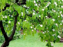 میوهٔ بـِه یا بهی (نام علمی: Cydonia oblonga) دارای گوشت خشک و کرکی است