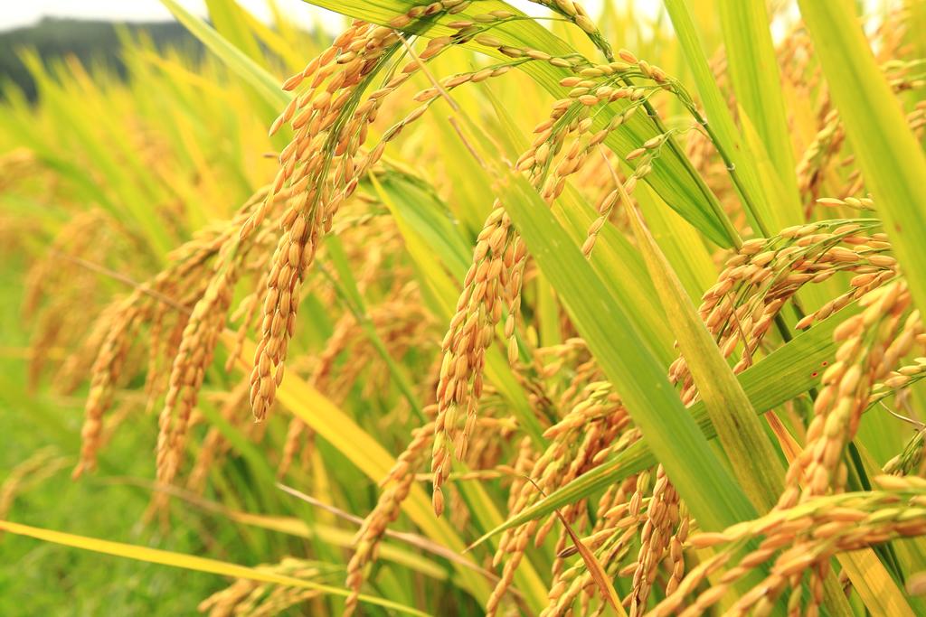 برگهای این گیاه متناوب بوده و در دو جانب متقابل ساقه قرار دارند. تعداد برگها در ارقام مختلف برنج متفاوت بوده، در ارقام زودرس ۱۴ تا ۱۵ برگ، در ارقام متوسطرس ۱۶ تا ۱۷ برگ و در ارقام دیررس تعداد برگها ۱۸ تا ۱۹ برگ بر روی هر ساقه میباشد. افزایش دمای هوای پیرامونی در زیاد شدن سطح برگ اثر تعیین کنندهای داشته و موجب بیشتر شدن تعداد برگها میگردد. در مقادیر مساوی شاخص سطح برگ (LAI) بوتههایی که برگهای کوچک و زیادتر دارند از بوتههایی که برگهای بزرگ و اندک دارند بهترند.