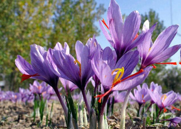 دمنوش زعفران اساساً ضدافسردگی و نشاطآور بوده و به بهبود عملکرد دستگاه گوارش کمک میکند
