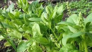 اسفناج دو برابر دیگر سبزیجات فیبر دارد