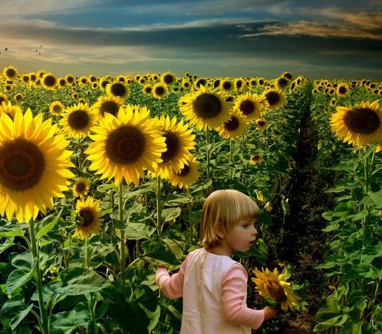 گل آفتابگردان گیاهی است یک ساله و تا حدود سه متر رشد میکند.