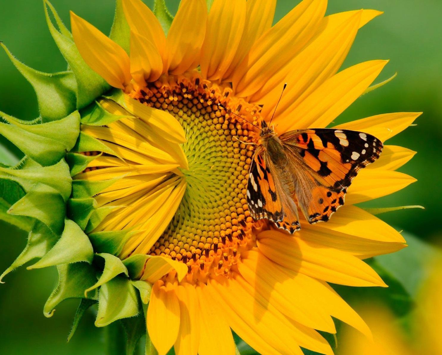 گل آن درشت و زیبا و به قطر ۳۵ سانتیمتر میباشد