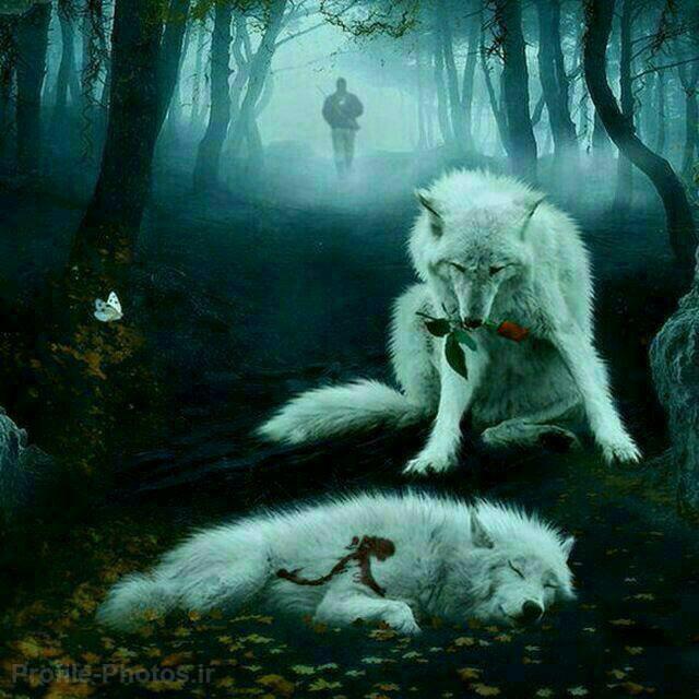 عکس گرگ برای پروفایل - گرگ نر به همراه گل بالاسر گرگ ماده