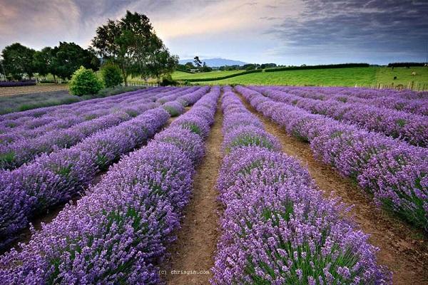 6 داروی گیاهی تضمینی برای کاهش سطح استرس