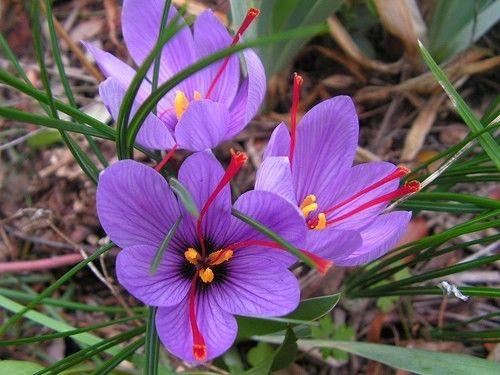 پرروش زعفران(کامل)