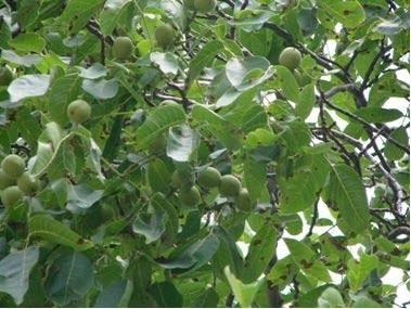 بیماری های درخت گردو