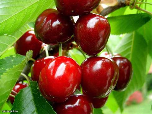 اثرات اسید های هیومیک روی درختان میوه