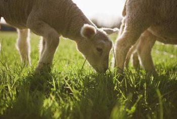 آیا کود گوسفندی یک کود مناسب برای بلوبری است؟