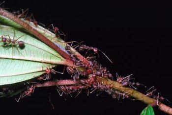 دور نگه داشتن مورچه ها از درختچه بلوبری