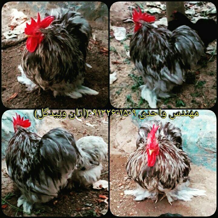 مرغ و خروس نژاد کوشین(Cochin Fowl)