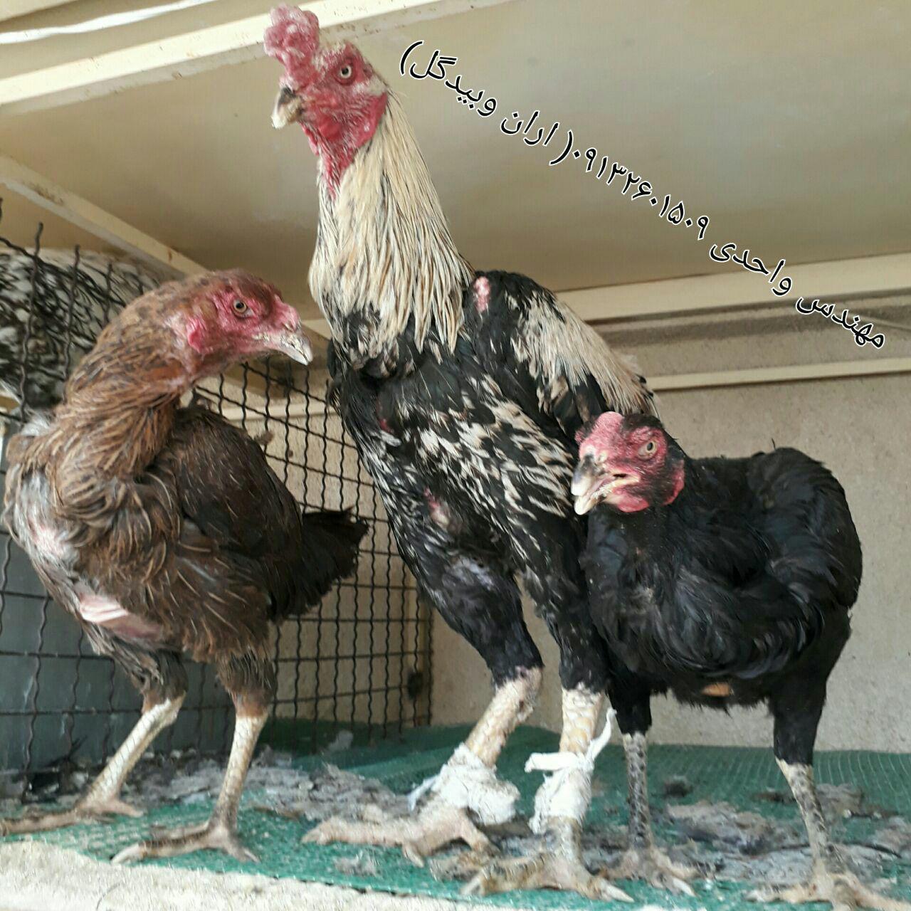 مرغ و خروس نژاد لاری(Lari)