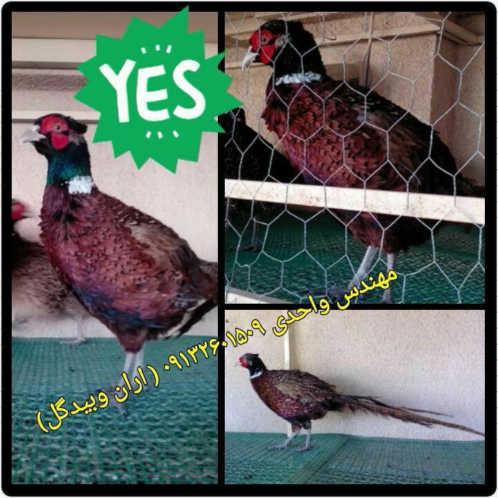 قرقاول(Pheasant)