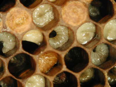 بیماری لوک در زنبور عسل