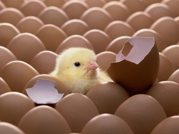 وراث تولید تخم مرغ