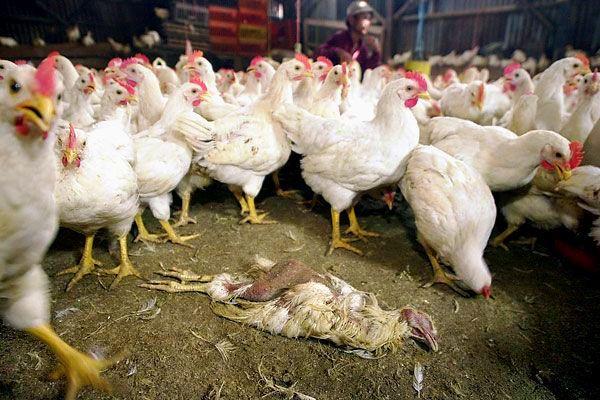 بیماری سل مرغی طیور