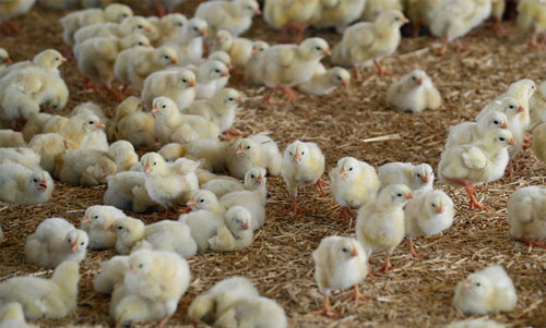 مشکل یابی و تجزیه و تحلیل تخم های جوجه نشده