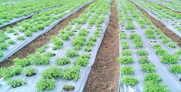 گیاه دارویی استویا (Stevia)