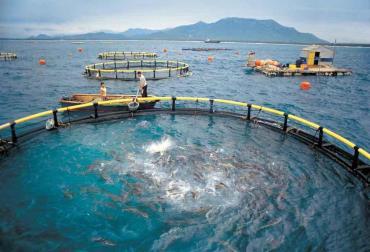 غذادهی ماهیان پرورشی در قفس