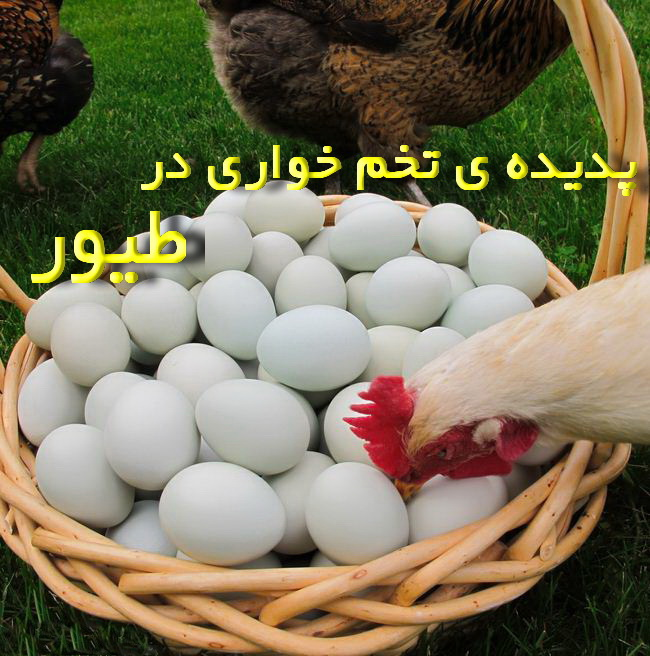 پدیده ی تخم خواری در گله ی طیور و روشهای مبارزه با آن