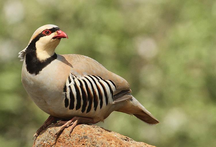 کبک (Partridge)